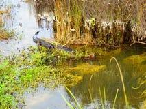 鳄鱼游览在沼泽地国立公园 股票视频