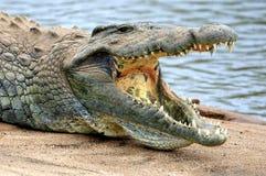 鳄鱼湾鳄尼罗niloticus 免版税库存图片