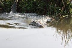 鳄鱼潜水到水里 库存照片