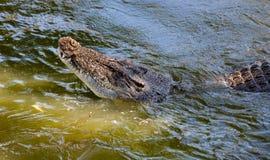 鳄鱼澳大利亚 库存照片
