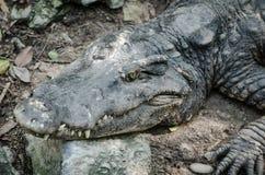 鳄鱼特写镜头画象  库存照片