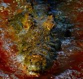 鳄鱼特写镜头 库存照片
