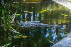 鳄鱼特写镜头  免版税库存照片