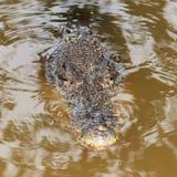 鳄鱼狩猎在湖 免版税图库摄影
