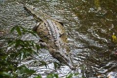鳄鱼狩猎在Corcovado,哥斯达黎加 库存图片
