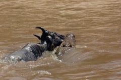 鳄鱼狩猎角马,当玛拉河流桥渡时 免版税库存照片