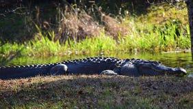 鳄鱼由水睡觉 免版税图库摄影