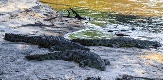 鳄鱼画象在河Grumeti的河岸的 坦桑尼亚 库存图片