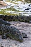 鳄鱼画象在河Grumeti的河岸的 坦桑尼亚 库存照片