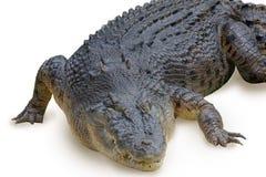 鳄鱼白色 库存照片