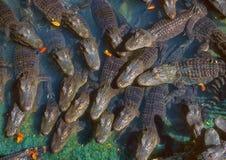 鳄鱼的会众 免版税库存照片