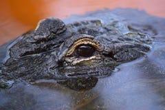 鳄鱼的在水上的眼睛峰顶 免版税库存照片