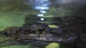 鳄鱼的枪口在水族馆的水的表面上 股票录像