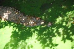 鳄鱼的特写镜头。 免版税库存图片
