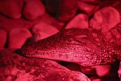 鳄鱼的特写镜头画象 库存图片