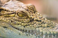 鳄鱼的眼睛 库存图片