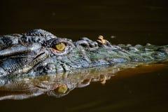 鳄鱼的眼睛在水中反射了 免版税库存图片