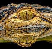 鳄鱼的眼睛 免版税库存图片