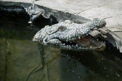 鳄鱼的雕塑在水中游泳 库存照片