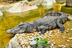 鳄鱼的画象 免版税库存图片