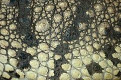 鳄鱼皮肤纹理 免版税库存图片