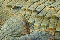 鳄鱼皮肤细节  在自然的艺术视图 凯门鳄在水中, Tarcoles河, Carara,哥斯达黎加 危险动物水 库存照片
