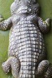 鳄鱼皮肤 库存照片