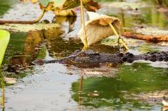 鳄鱼盐水 免版税图库摄影