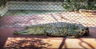 鳄鱼盐水功能失效泰国动物园 库存照片