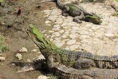 鳄鱼看 免版税库存图片