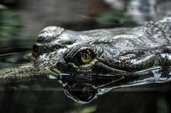 鳄鱼眼睛在动物园布拉格,捷克里 库存图片