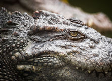 鳄鱼眼睛 免版税库存图片