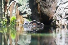 鳄鱼眼睛 免版税图库摄影