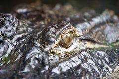 鳄鱼眼睛 免版税库存照片