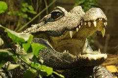 鳄鱼矮小的osteolaemus tetraspis 免版税库存图片