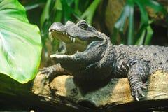 鳄鱼矮小的osteolaemus tetraspis 库存图片