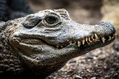 鳄鱼矮小的osteolaemus tetraspis 图库摄影