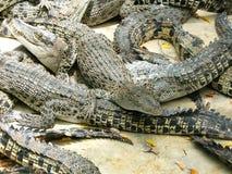鳄鱼竞争 免版税图库摄影