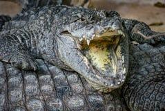 鳄鱼纵向 免版税库存照片