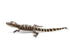 鳄鱼美国人 图库摄影