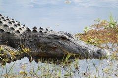 鳄鱼美国人 库存照片