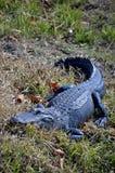 鳄鱼美国人 免版税库存照片