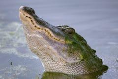 鳄鱼美国人 库存图片