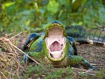 鳄鱼美国人 免版税图库摄影