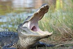 鳄鱼美国人ii 库存图片