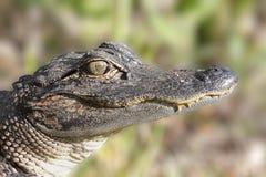 鳄鱼美国人mississippiensis 免版税库存图片