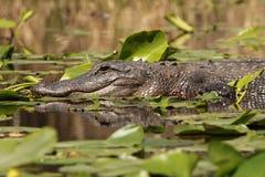 鳄鱼美国佐治亚okefenokee沼泽 免版税库存图片