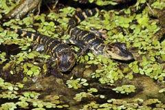 鳄鱼美国青少年 库存照片