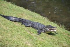 鳄鱼美国顶头hilton海岛 库存图片
