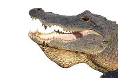鳄鱼美国题头查出的白色 图库摄影